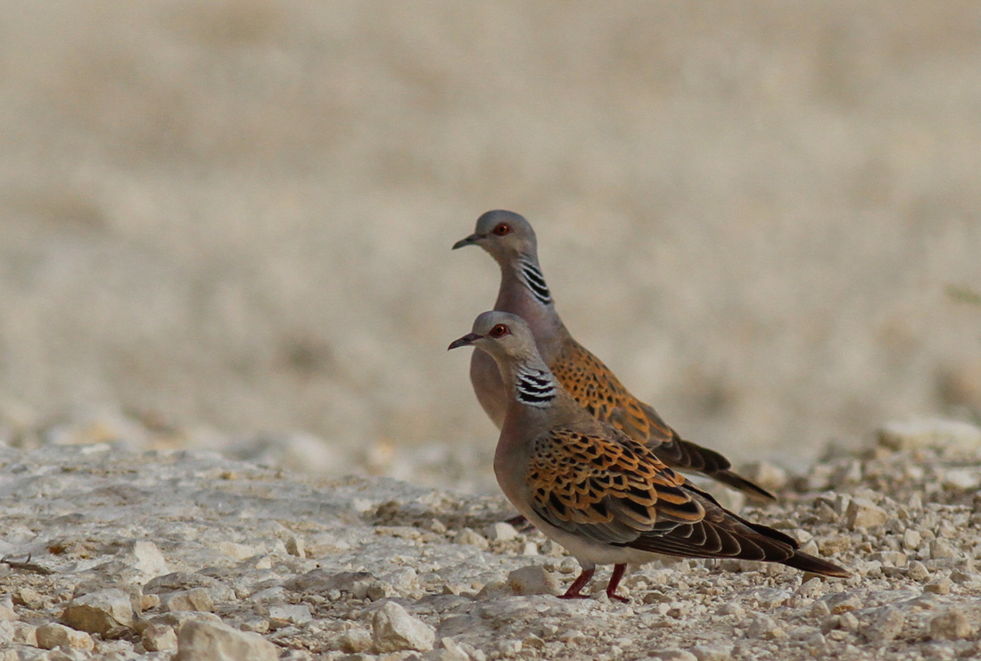 Turtle Dove Cyprus Birding Tours Cyprus Bird Watching Tours Cyprus Bird Watching Cyprus Birding Cyprus Birding Guide Cyprus Ornithological Tours