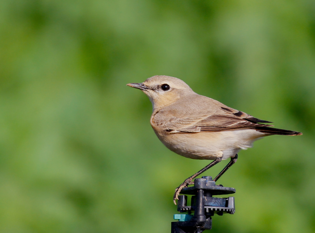 Cyprus Birding Tours; Cyprus Bird Watching Tours; Cyprus Bird Watching; Cyprus Birding; Cyprus Birding Guide; Cyprus Ornithological Tours;