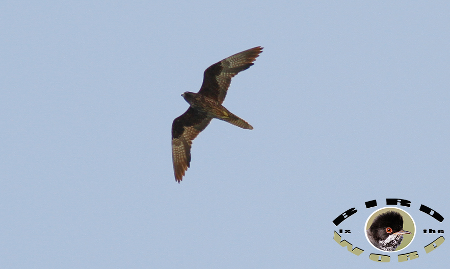 Eleonora's Falcon Cyprus Birding Tours Cyprus Bird Watching Tours Cyprus Bird Watching Cyprus Birding Cyprus Birding Guide Cyprus Ornithological Tours