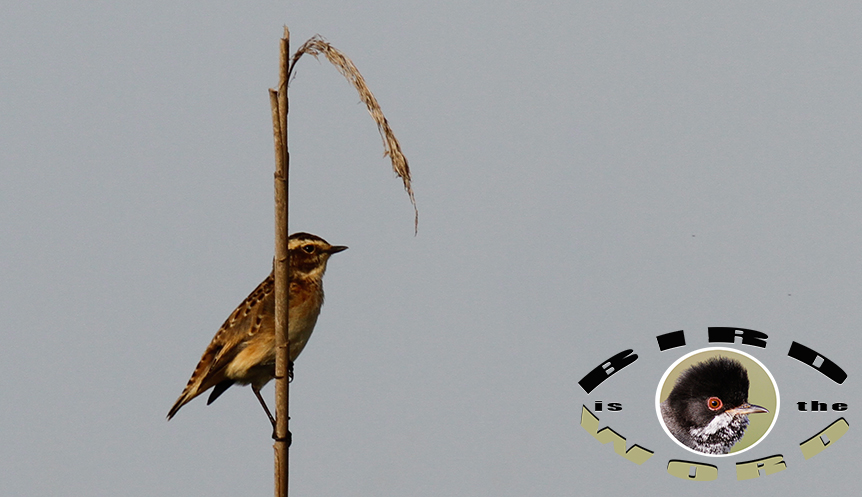 Whinchat Cyprus Birding Tours Cyprus Bird Watching Tours Cyprus Bird Watching Cyprus Birding Cyprus Birding Guide Cyprus Ornithological Tours