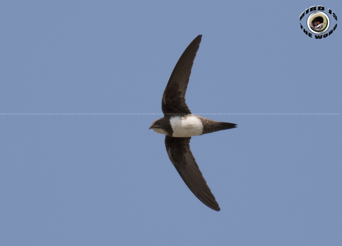 Alpine Swift Cyprus Birding Birdwatching tours ecotours birdlife wildlife