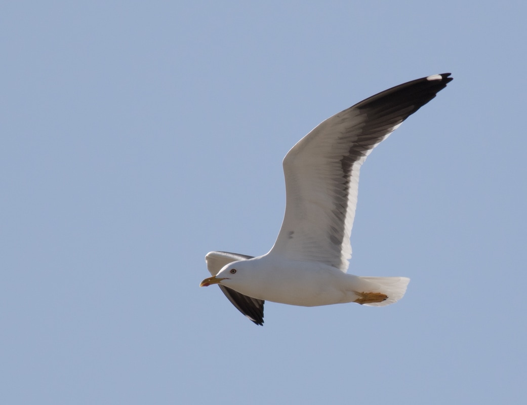 Baltic Gull Cyprus Birding Birdwatching tours ecotours birdlife wildlife