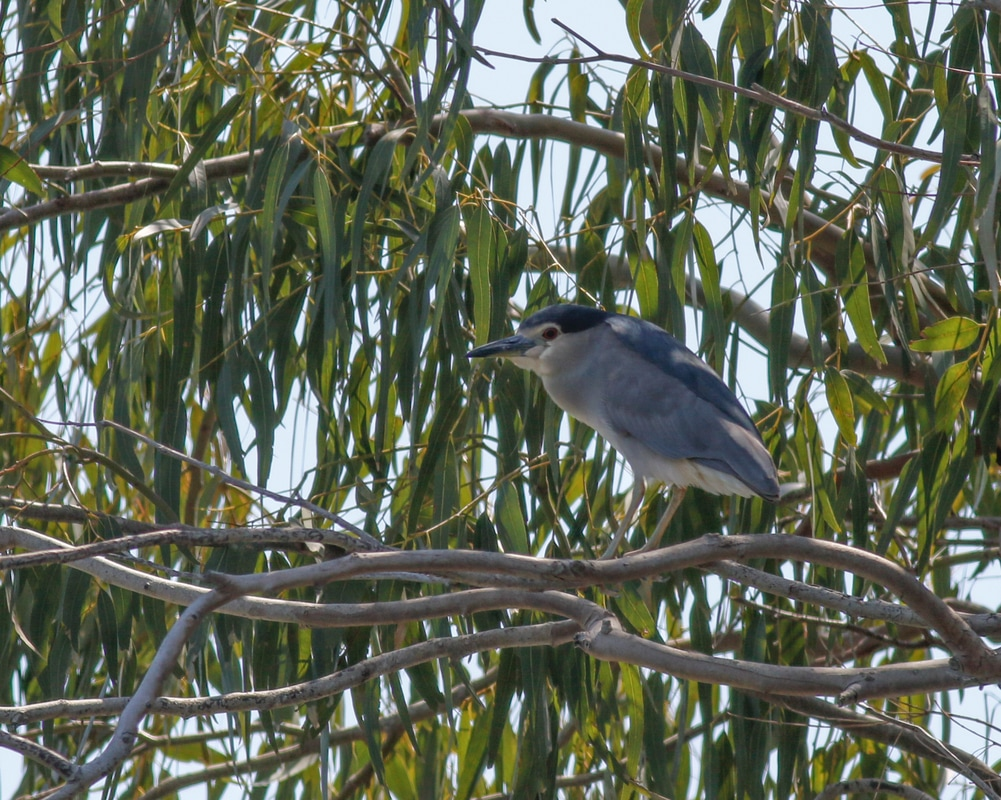 Black-crowned Night Heron Cyprus Birding Birdwatching tours ecotours birdlife wildlife