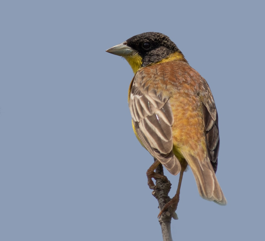 Black Headed Bunting Cyprus Birding Birdwatching tours ecotours birdlife wildlife