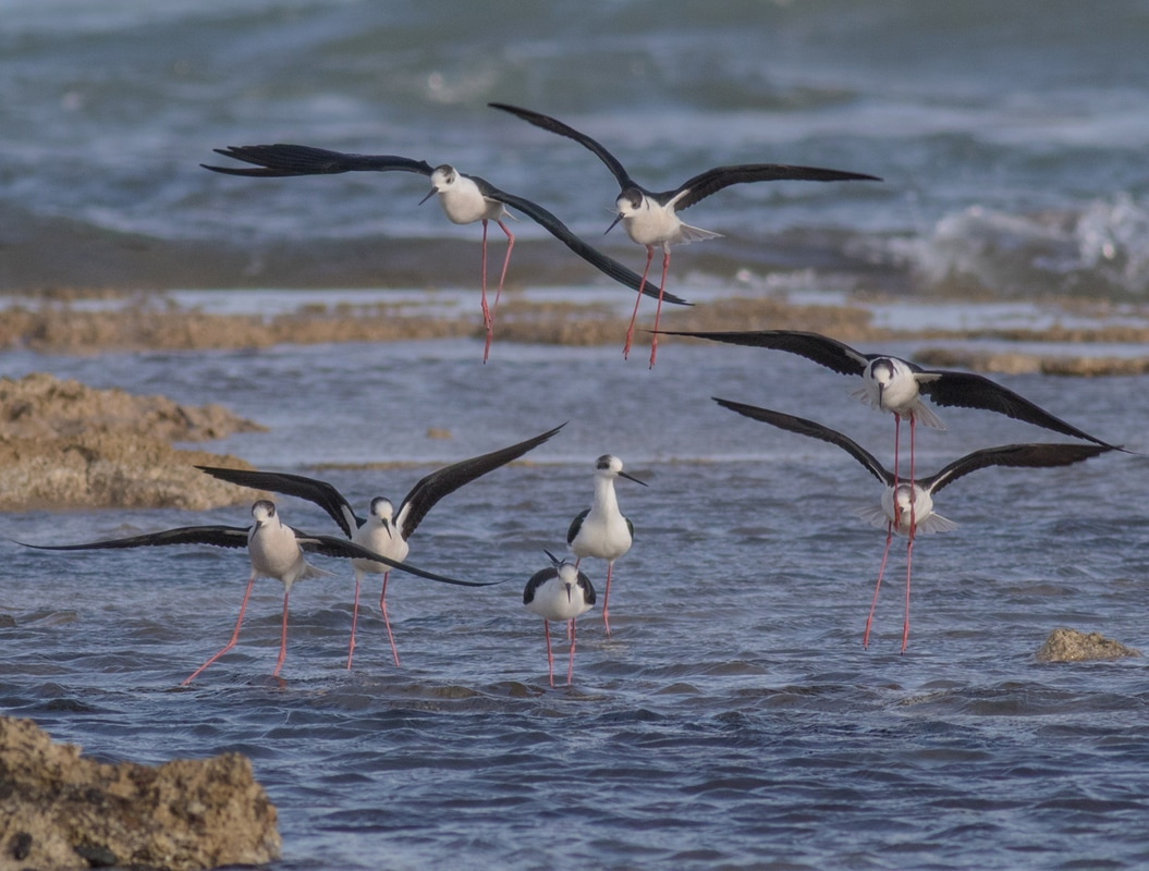 Black-winged Stilt Cyprus Birding Birdwatching tours ecotours birdlife wildlife