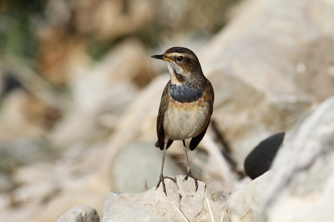 Bluethroat Cyprus Birding tours cyprus bird watching tours ecotours birdlife cyprus cyprus wildlife cyprus nature