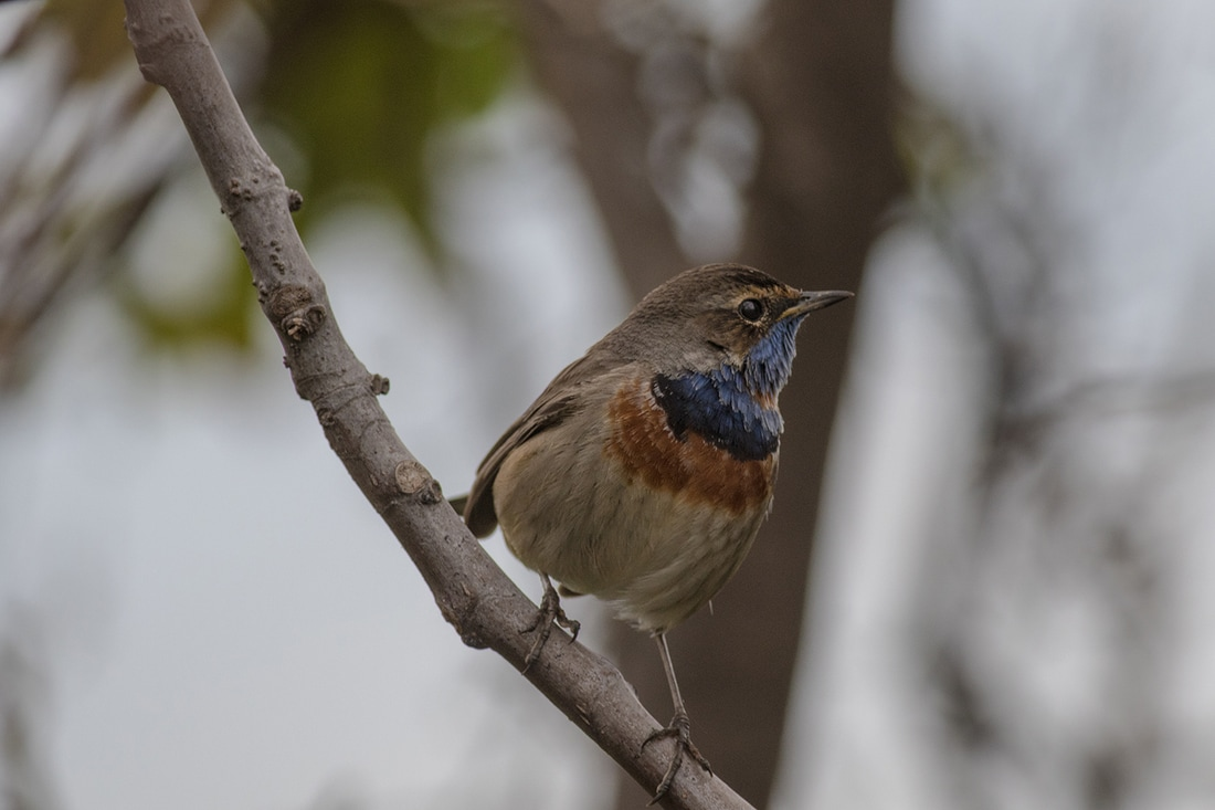 Bluethroat Cyprus Birding Birdwatching tours ecotours birdlife wildlife