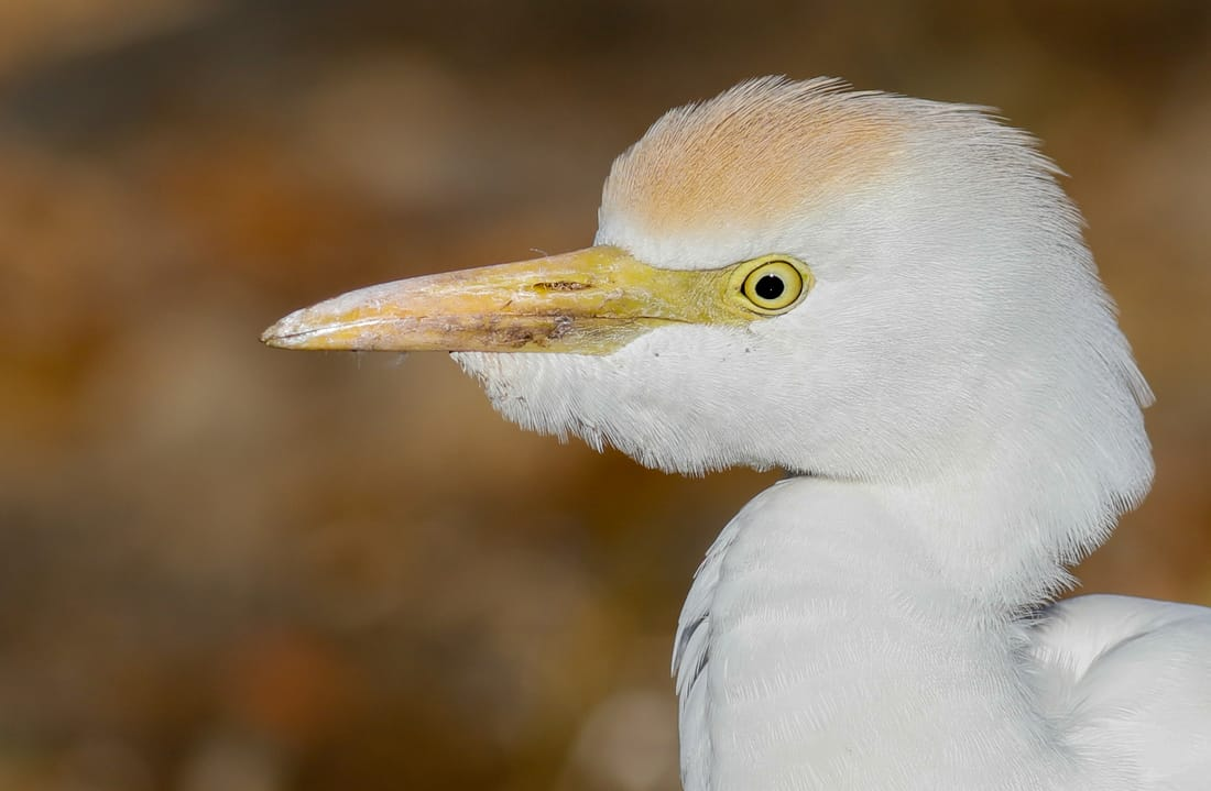 Cattle Egret Cyprus Birding tours cyprus bird watching tours ecotours birdlife cyprus cyprus wildlife cyprus nature