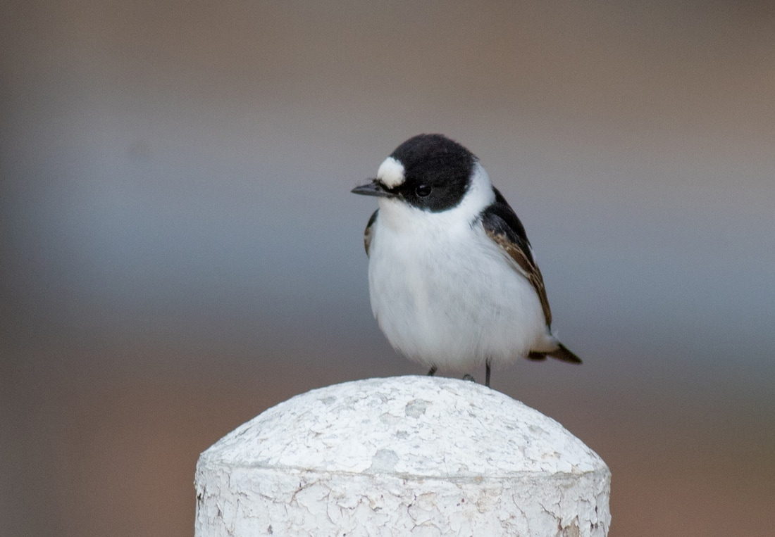 Collared Flycatcher Cyprus Birding Birdwatching tours ecotours birdlife wildlife