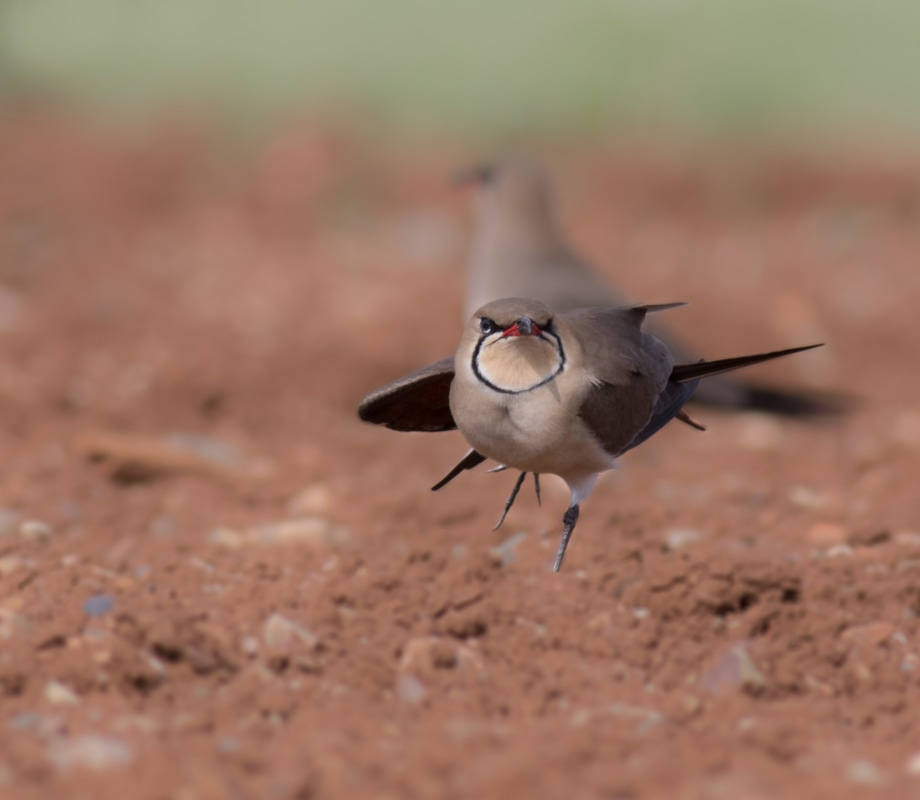 Collared Pratincole - Cyprus Birding Birdwatching tours ecotours birdlife wildlife