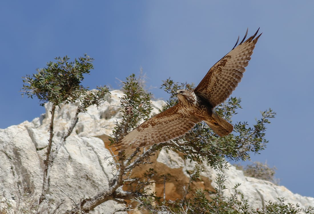 Common Buzzard Cyprus Birding tours cyprus bird watching tours ecotours birdlife cyprus cyprus wildlife cyprus nature