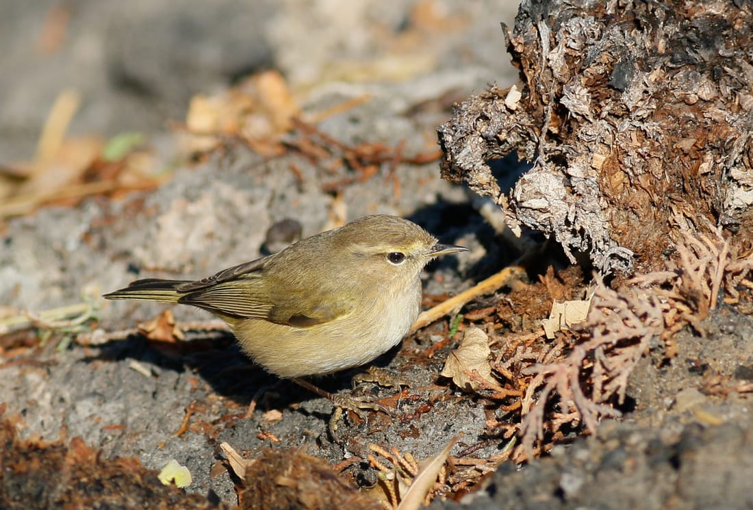 Common Chiffchaff Cyprus Birding tours cyprus bird watching tours ecotours birdlife cyprus cyprus wildlife cyprus nature