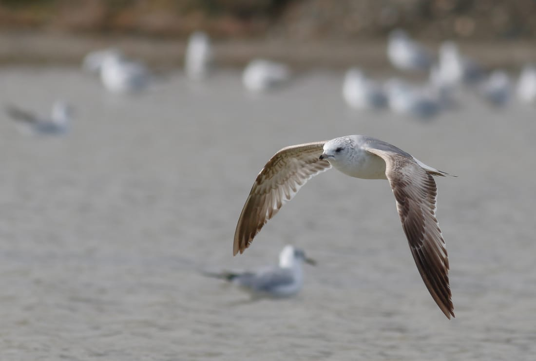 Common Gull Cyprus Birding tours cyprus bird watching tours ecotours birdlife cyprus cyprus wildlife cyprus nature