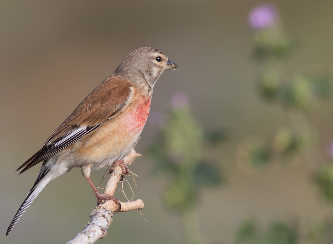 Common Linnet Cyprus Birding Birdwatching tours ecotours birdlife wildlife