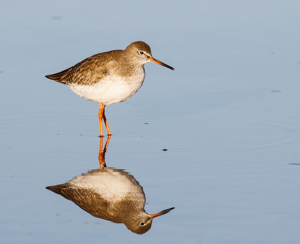 Common Redshank Cyprus Birding tours cyprus bird watching tours ecotours birdlife cyprus cyprus wildlife cyprus nature