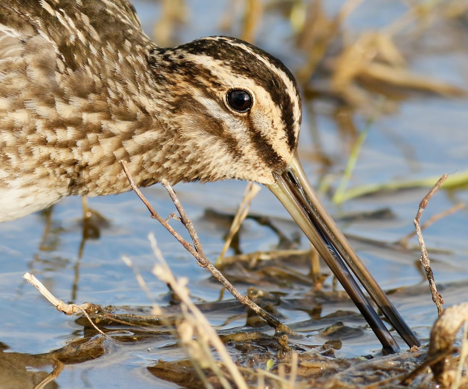 Common Snipe Cyprus Birding tours cyprus bird watching tours ecotours birdlife cyprus cyprus wildlife cyprus nature