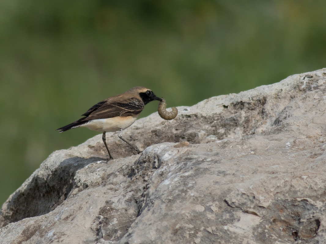 Eastern Black Eared Wheatear Cyprus Birding Birdwatching tours ecotours birdlife wildlife