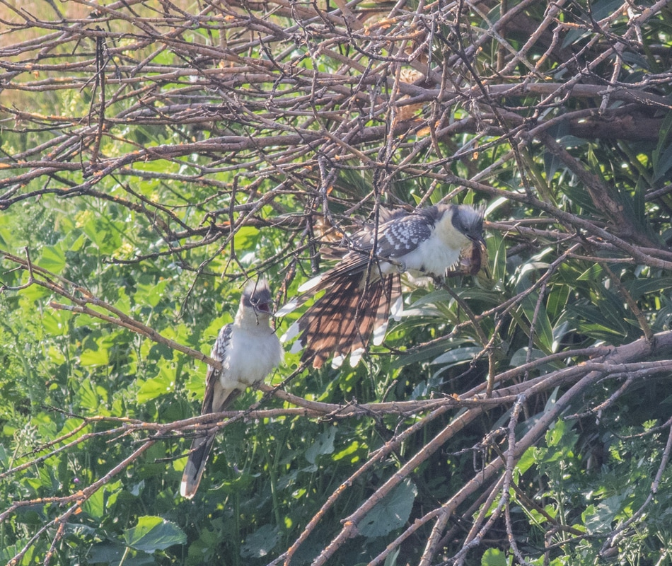 Great spotted cuckoo Display Cyprus Birding Birdwatching tours ecotours birdlife wildlife