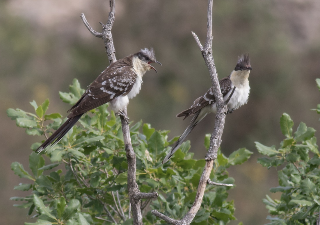 Great Spotted Cuckoo Cyprus Birding Birdwatching tours ecotours birdlife wildlife