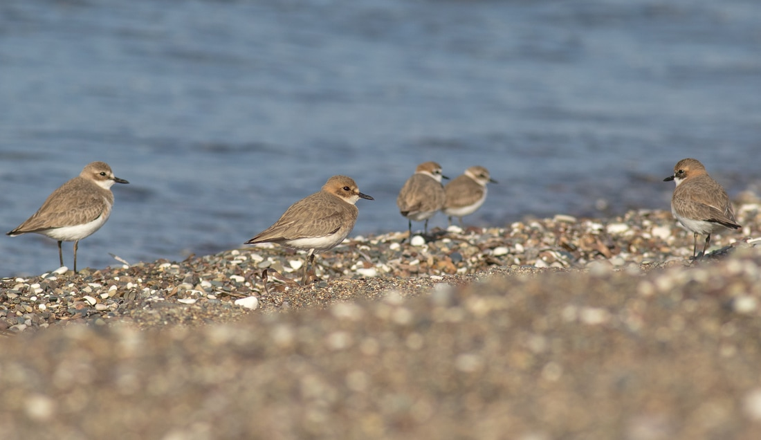 Greater Sand Plover Kentish Plover Cyprus Birding Birdwatching tours ecotours birdlife wildlife