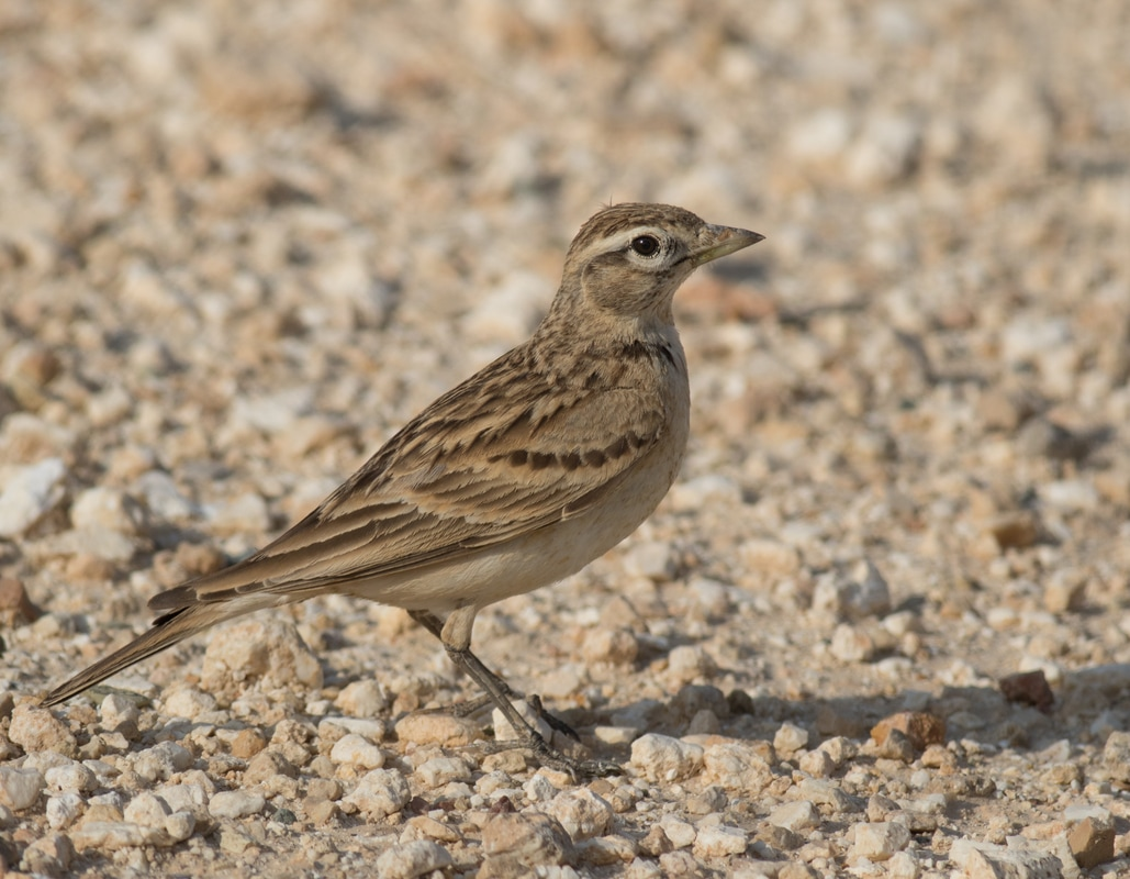 Greater Short Toed Lark Cyprus Birding Birdwatching tours ecotours birdlife wildlife