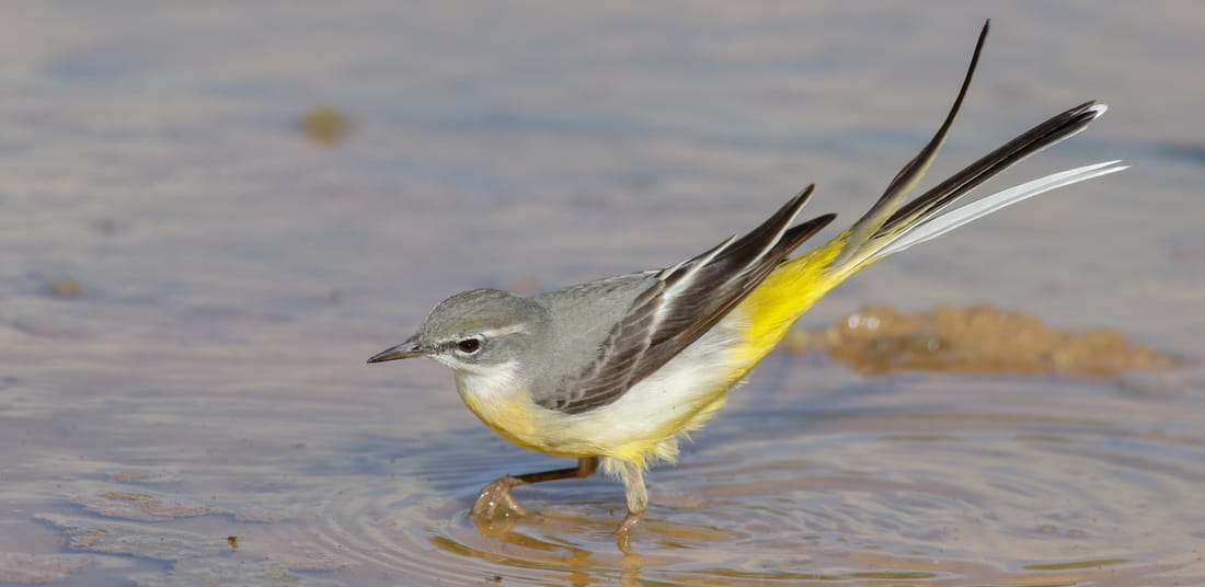 Grey Wagtail Cyprus Birding tours cyprus bird watching tours ecotours birdlife cyprus cyprus wildlife cyprus nature