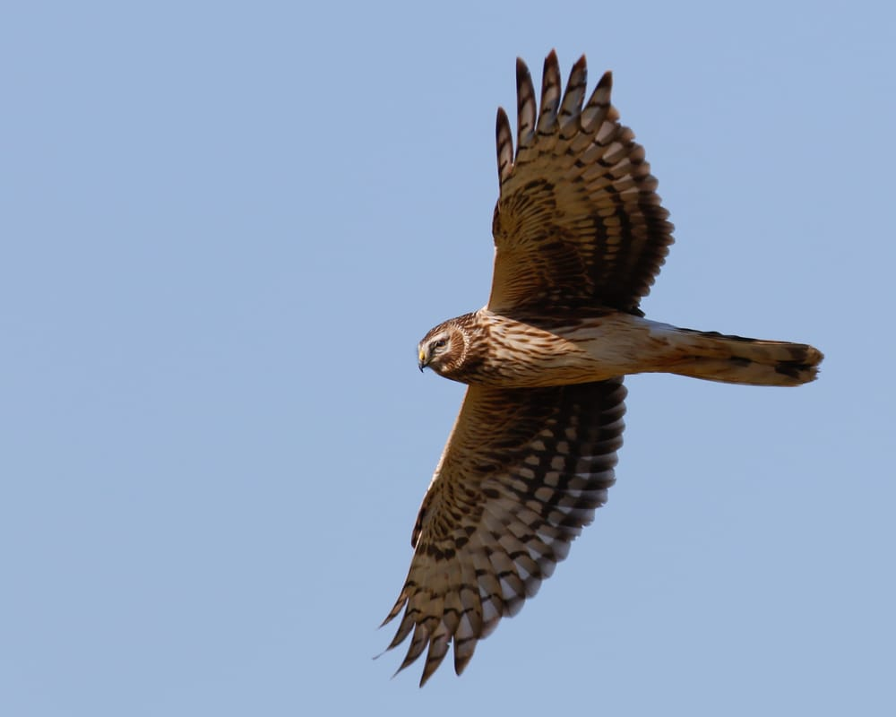 Hen Harrier Cyprus Birding tours cyprus bird watching tours ecotours birdlife cyprus cyprus wildlife cyprus nature