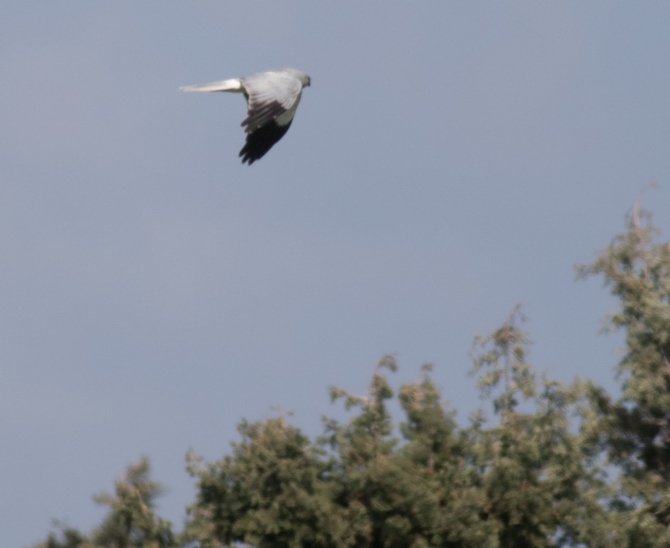 Hen Harrier Cyprus Birding Birdwatching tours ecotours birdlife wildlife