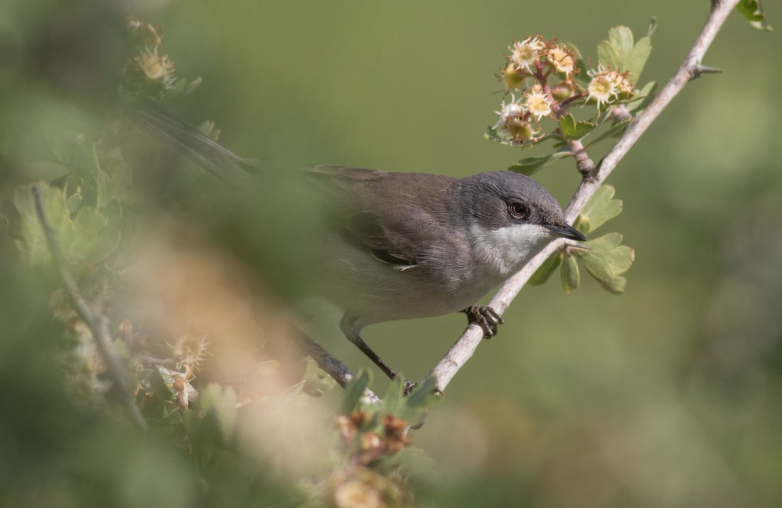 Lesser Whitethroat Cyprus Birding Birdwatching tours ecotours birdlife wildlife