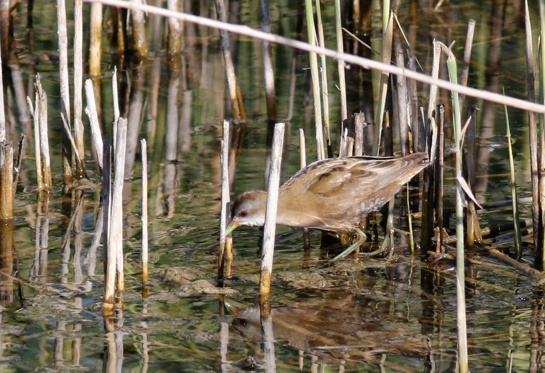 Little Crake Cyprus Birding Birdwatching tours ecotours birdlife wildlife