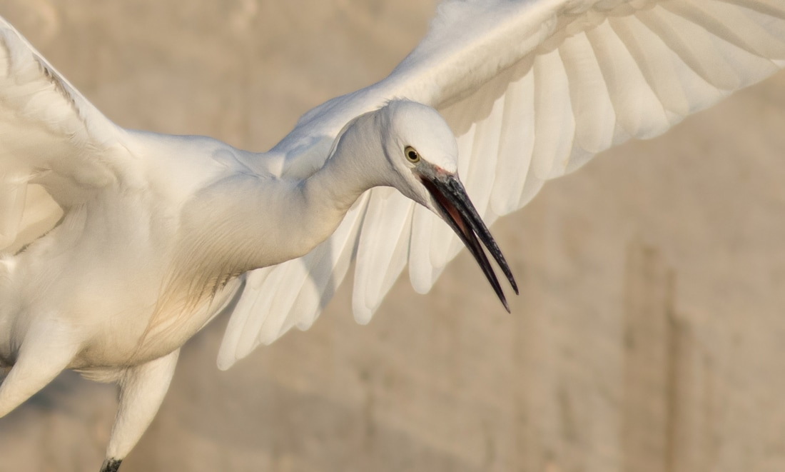 Little Egret  Cyprus Birding Birdwatching tours ecotours birdlife wildlife