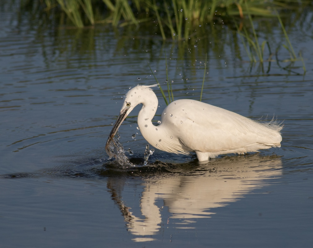 Little Egret fishing Cyprus Birding Birdwatching tours ecotours birdlife wildlife