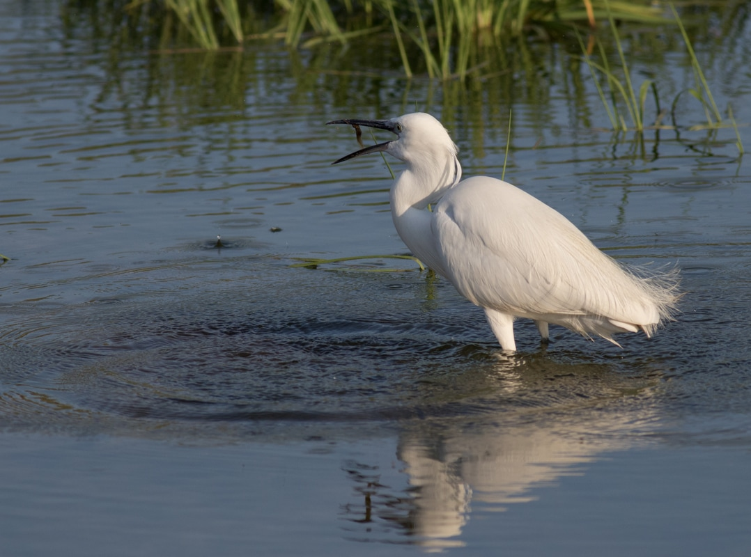 Little Egret hunting Cyprus Birding Birdwatching tours ecotours birdlife wildlife