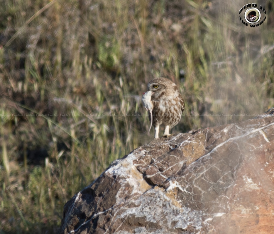 Little Owl Spiny Mouse Cyprus Birding Birdwatching tours ecotours birdlife wildlife