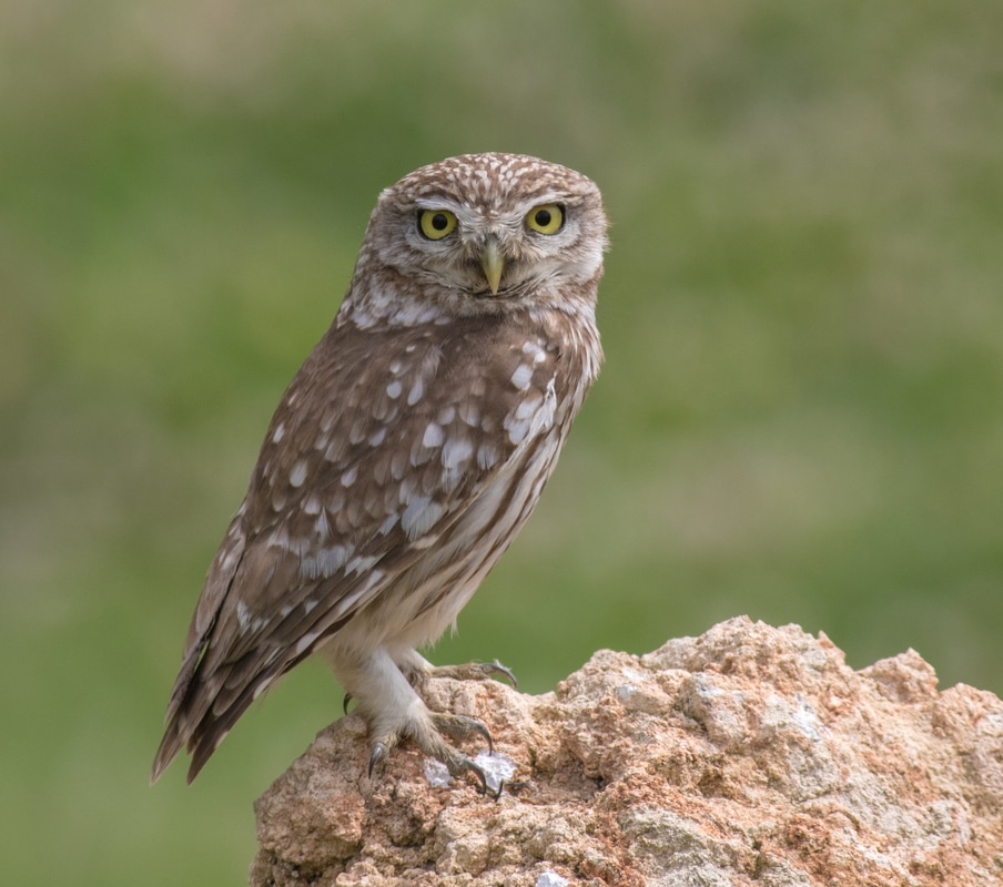 Little Owl Cyprus Birding Birdwatching tours ecotours birdlife wildlife