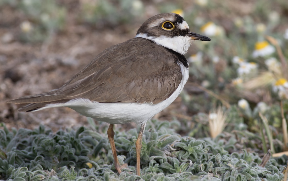 Little Ringed Plover Cyprus Birding Birdwatching tours ecotours birdlife wildlife