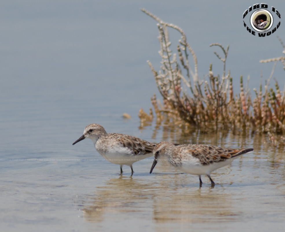 Little Stint Cyprus Birding Birdwatching tours ecotours birdlife wildlife