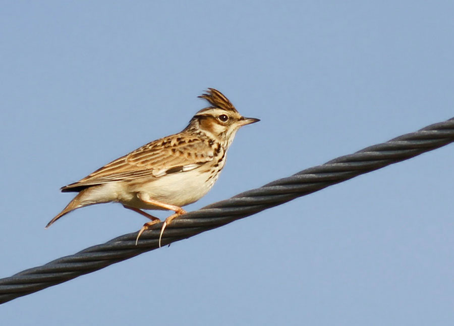 Woodlark Cyprus Birding Tours Cyprus Bird watching Tours Cyprus Birds Bird is the Word ecotours birdguide