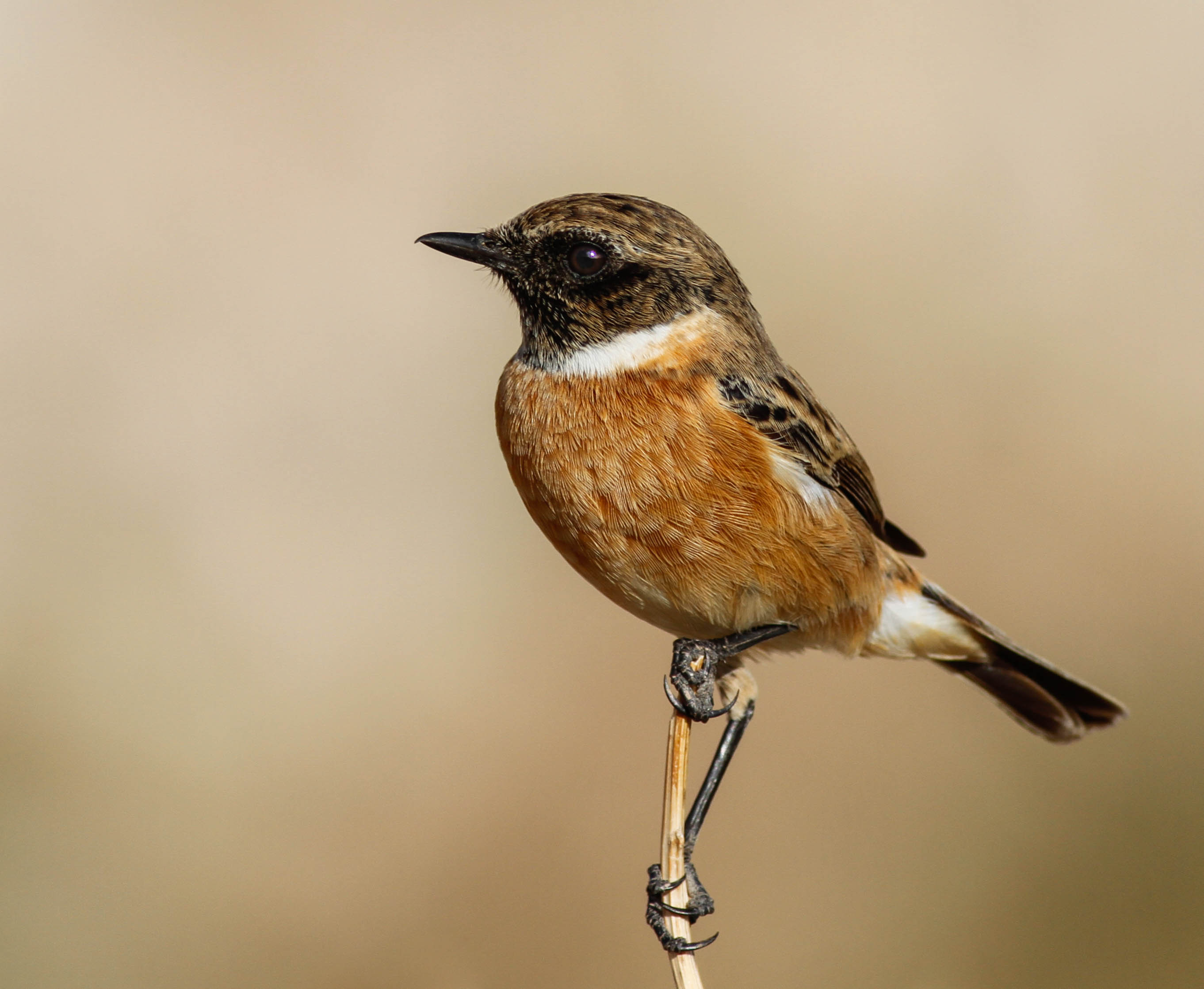 Common Stonechat Cyprus Birding Tours Cyprus Bird watching Tours Cyprus Birds Bird is the Word ecotours birdguide
