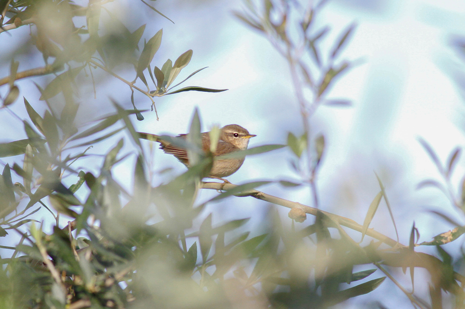 Dusky Warbler Cyprus Birding Tours Cyprus Bird watching Tours Cyprus Birds Bird is the Word ecotours birdguide