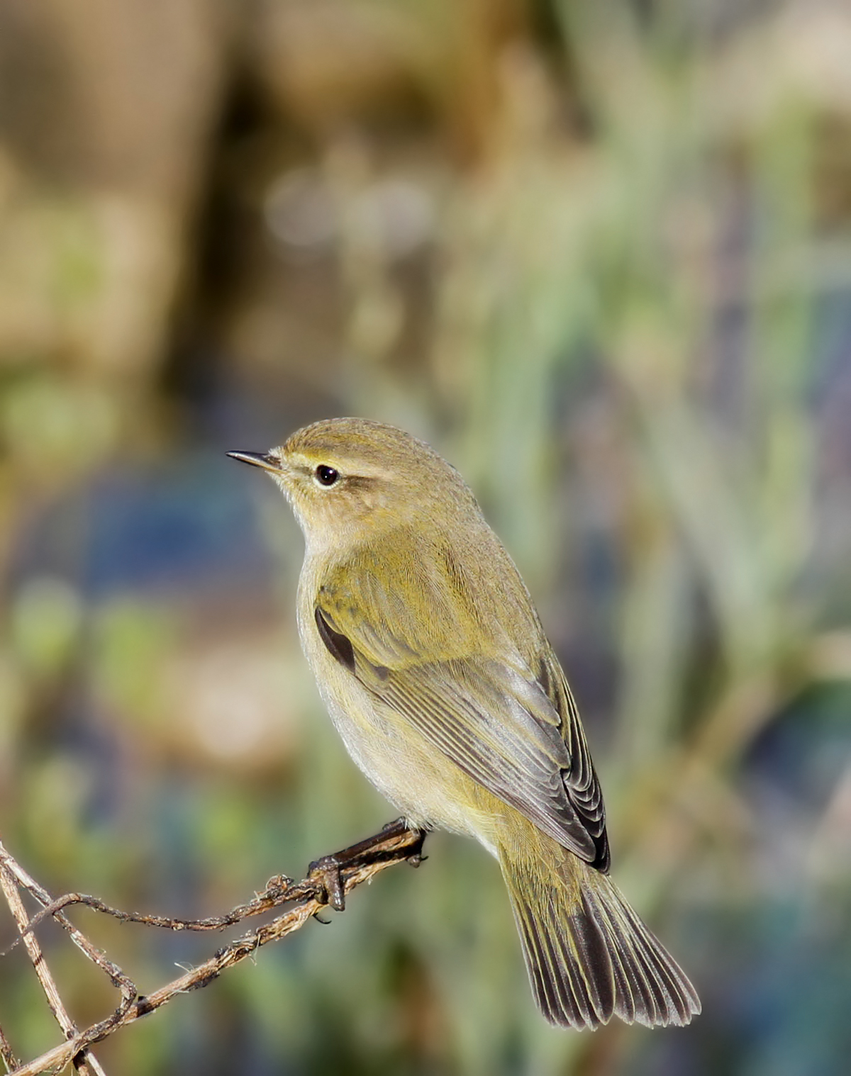 Common Chiffchaff Cyprus Birding Tours Cyprus Bird watching Tours Cyprus Birds Bird is the Word ecotours birdguide