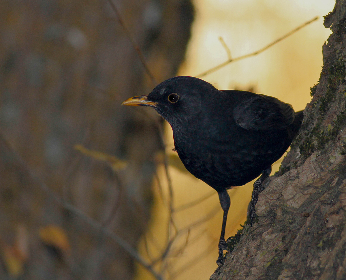 Blackbird Cyprus Birding Tours Cyprus Bird watching Tours Cyprus Birds Bird is the Word ecotours birdguide
