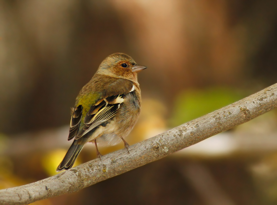 Chaffinch Cyprus Birding Tours Cyprus Bird watching Tours Cyprus Birds Bird is the Word ecotours birdguide