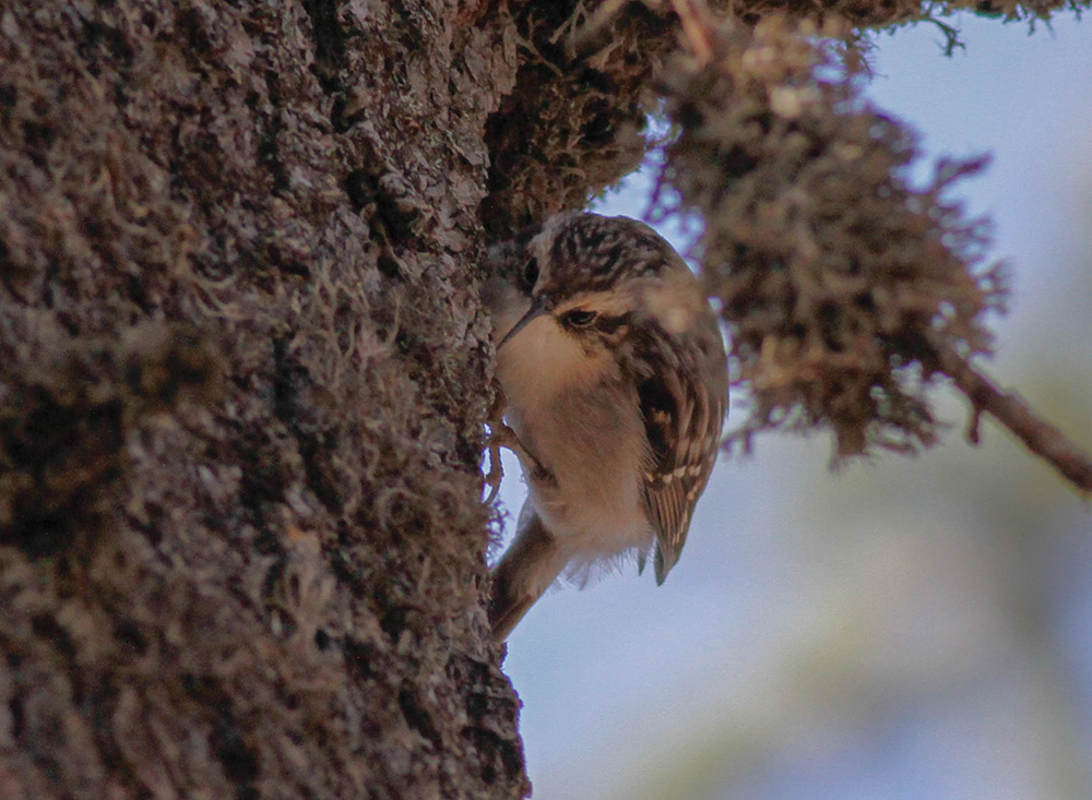 Dorothy's short-toed treecreeper Cyprus Birding Tours Cyprus Bird watching Tours Cyprus Birds Bird is the Word ecotours birdguide
