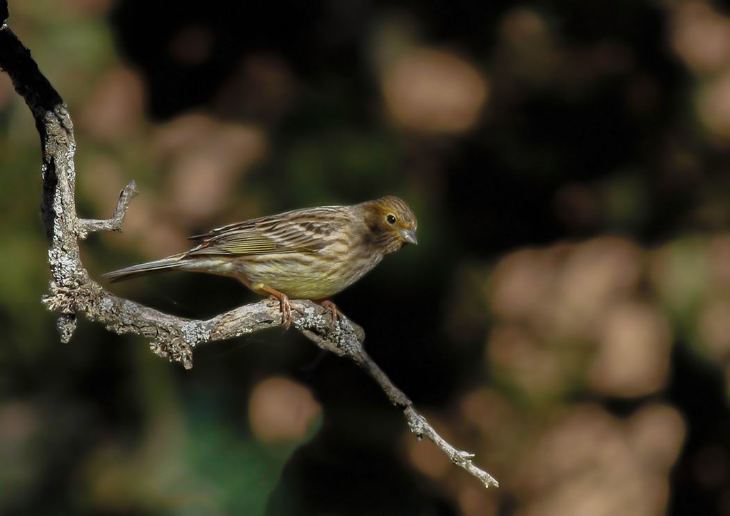 Yellowhammer Cyprus Birding Tours Cyprus Bird watching Tours Cyprus Birds Bird is the Word ecotours birdguide