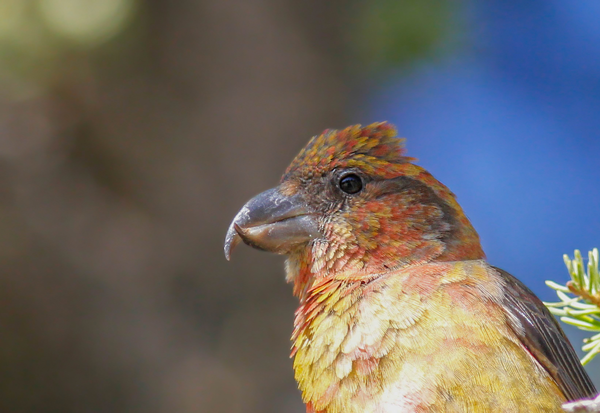 Red Crossbill calling Cyprus Birding Tours Cyprus Bird watching Tours Cyprus Birds Bird is the Word ecotours birdguide