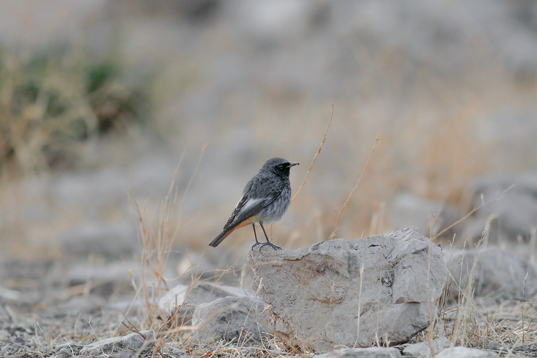 Western Black Redstart male Cyprus Birding Tours Cyprus Bird watching Tours Cyprus Birds Bird is the Word ecotours birdguide