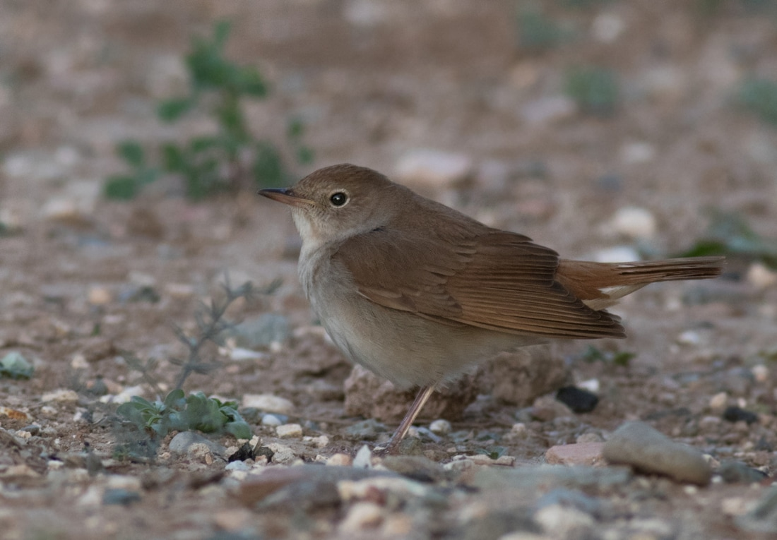 Common Nightingale Cyprus Birding Birdwatching tours ecotours birdlife wildlife