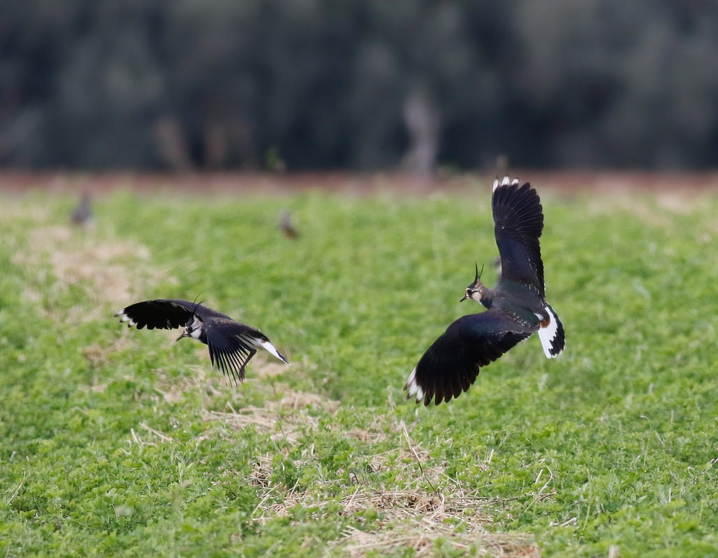 Northern Lapwing Cyprus Birding tours cyprus bird watching tours ecotours birdlife cyprus cyprus wildlife cyprus nature