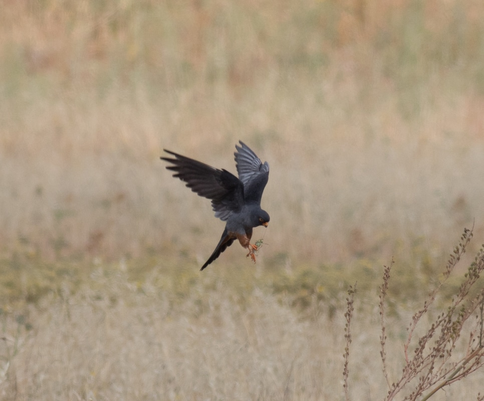 Red Footed Falcon Cyprus Birding Birdwatching tours ecotours birdlife wildlife